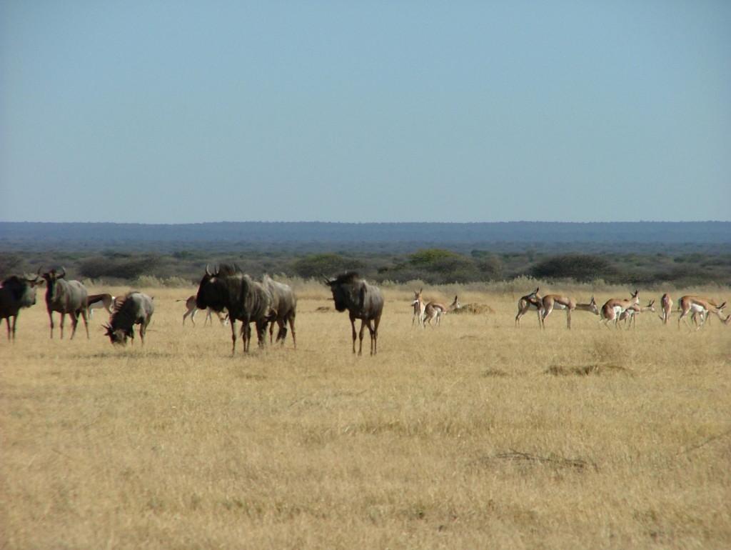 hartebeest herd