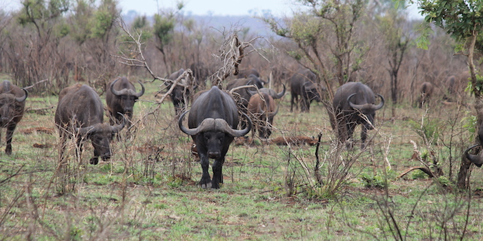 how to prepare for an african safari hunt buffalo