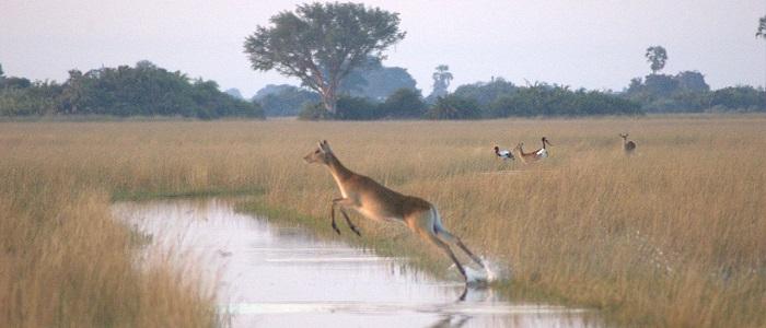 hunting in Botswana lechwe
