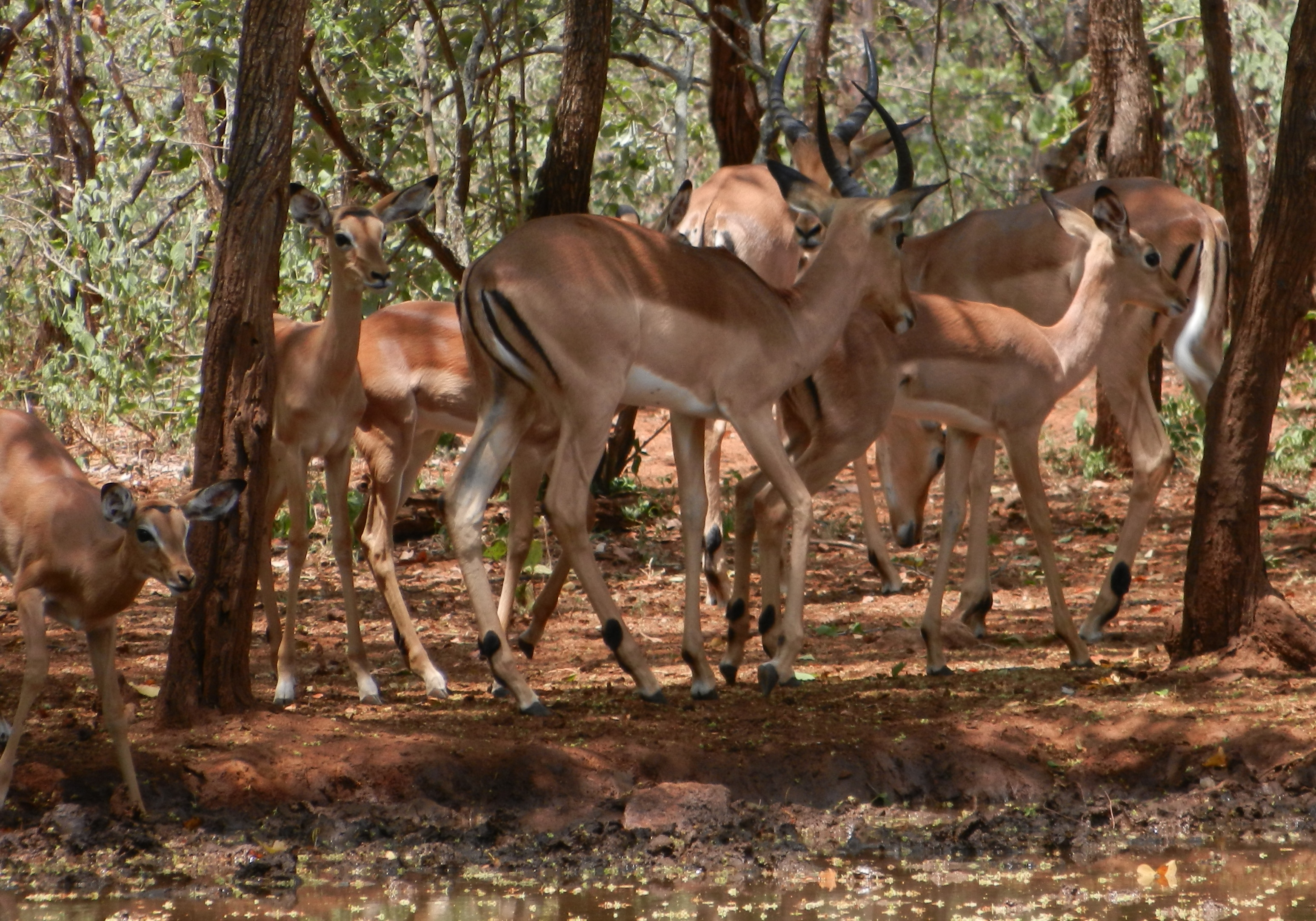 Impala Bread And Butter Of An African Safari Hunt Big Game