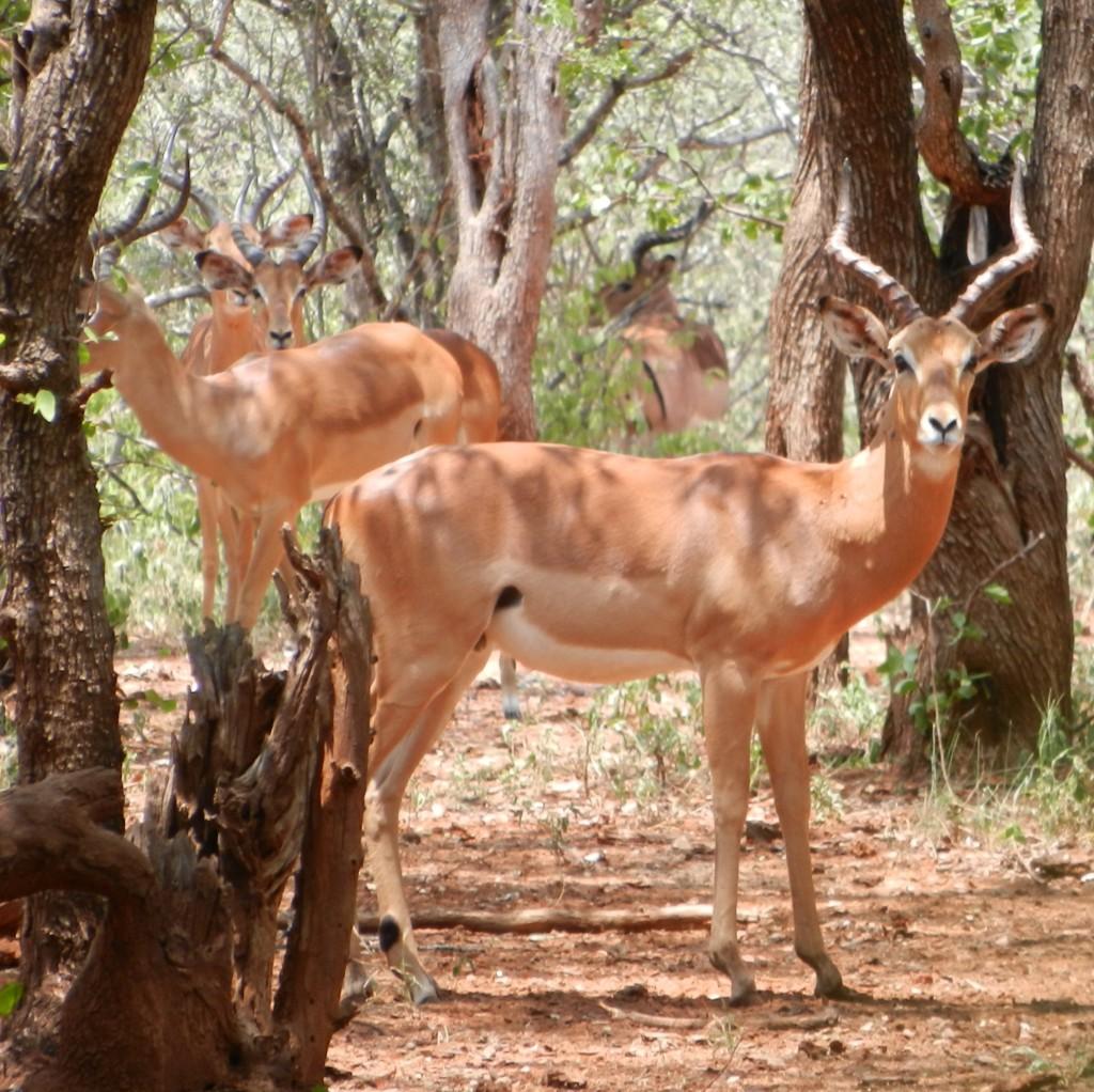 southern impala ram