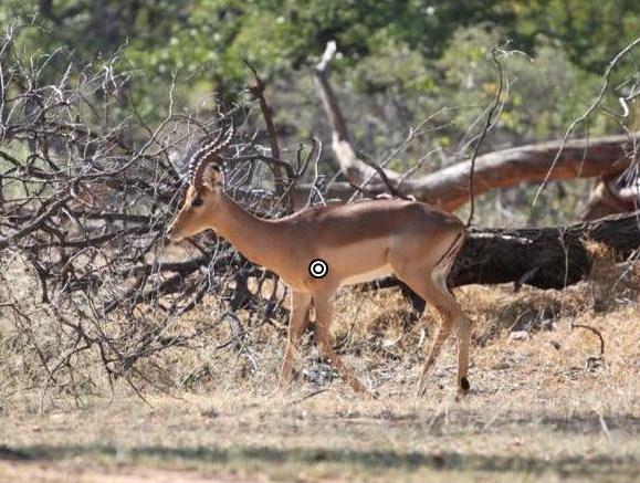 impala shot placement