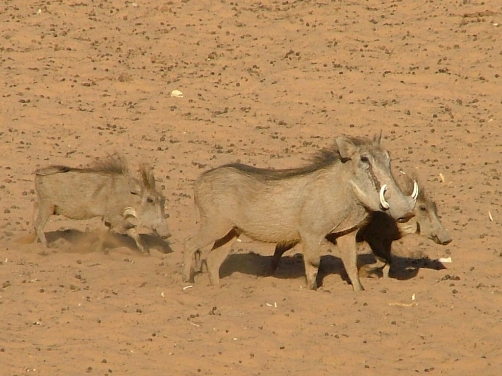 female warthog