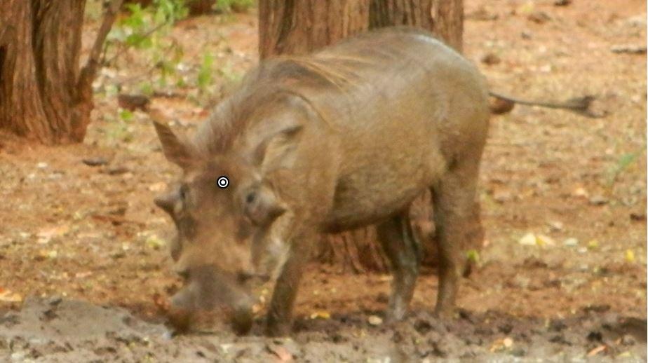 warthog shot placement head