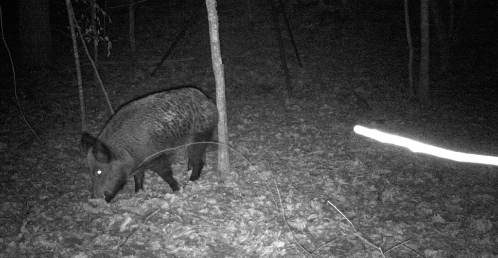 ted's first hog trail camera