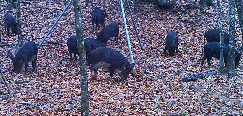 ten hogs