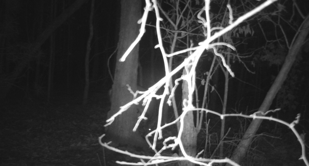 Had the branches in front of this trail camera been cleared properly, the photographs would have turned out much better.