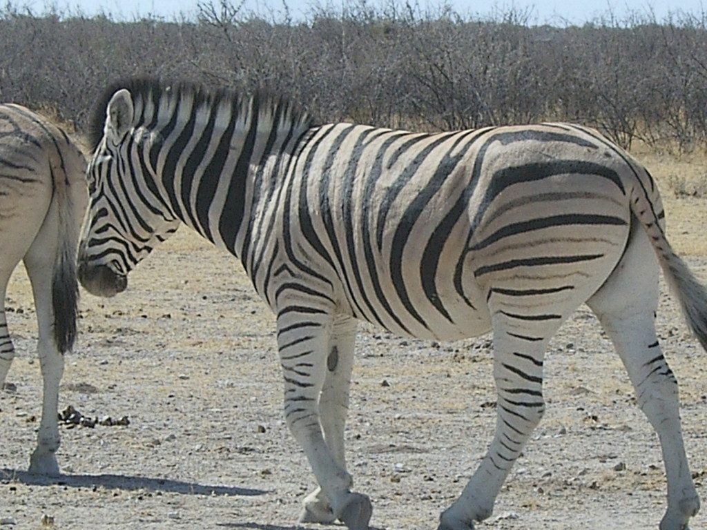 Plains zebra hunting