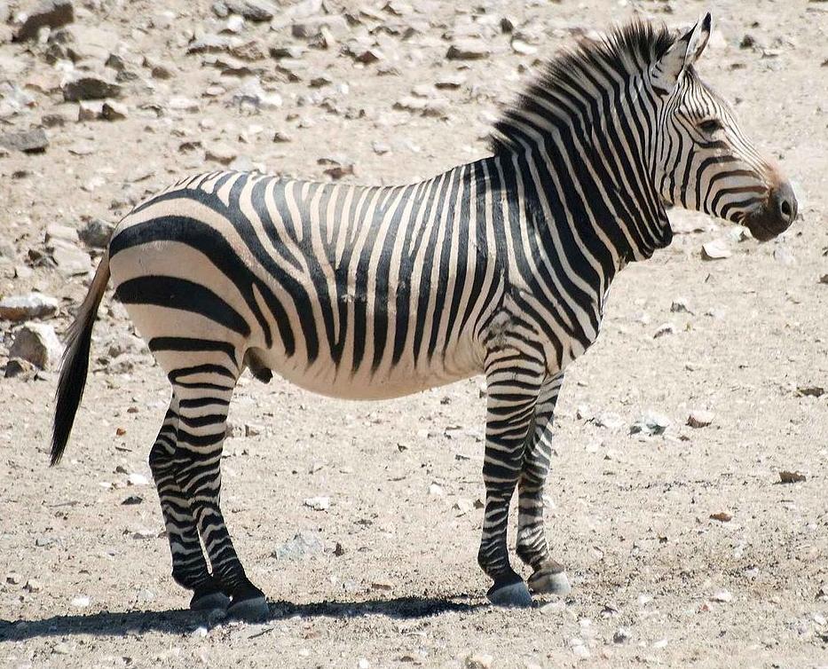 Hartmann's Mountain Zebra hunting