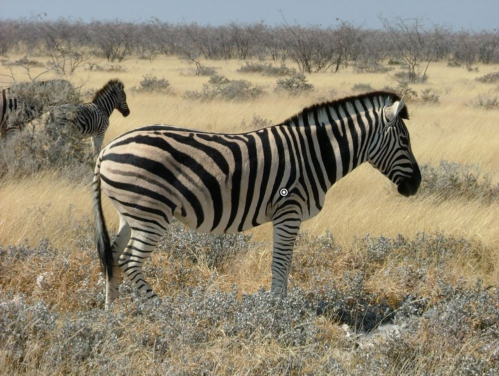 plains zebra shot placement
