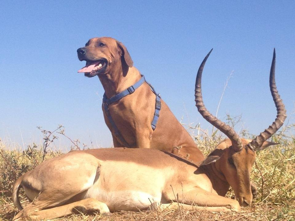 How To Take A Good Trophy Photo dog impala