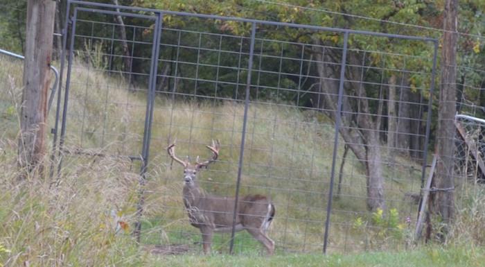 canned shooting deer