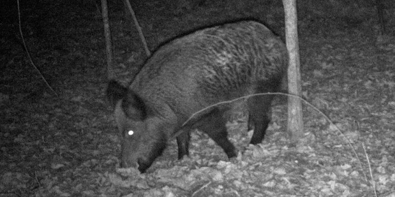 7 Of The Best Hog Hunting Guns In 2019 | Big Game Hunting Blog