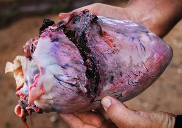 cape buffalo heart